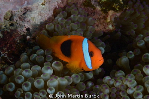 clown fish by John Martin Burck 